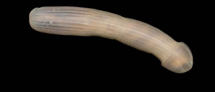 Espécie de verme marinho em forma de pênis choca cientistas