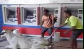 Bezerro invade Agência Bancaria de Açailândia