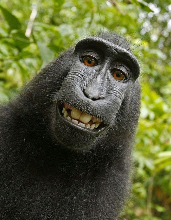 Selfie do macaco tirada em 2011, na Indonésia (Crédito:  David Slater)