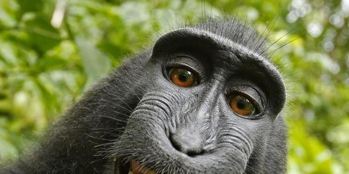 Fotógrafo vai à Justiça por direitos de selfie tirada por macaco