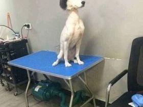 Foto de husky siberiano tosado divide opiniões e viraliza na web