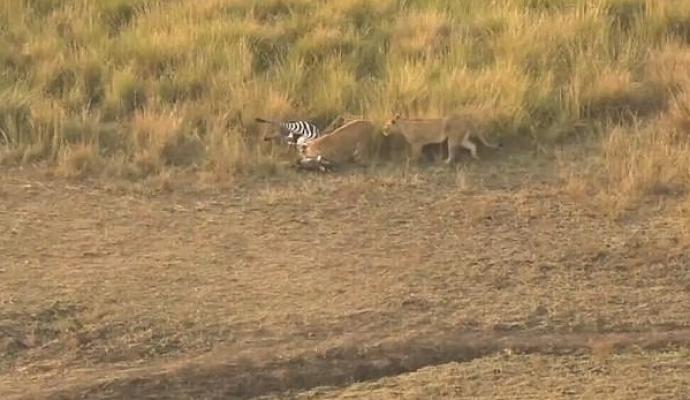 Zebra sendo atacada pelas leoas (Crédito: Reprodução)