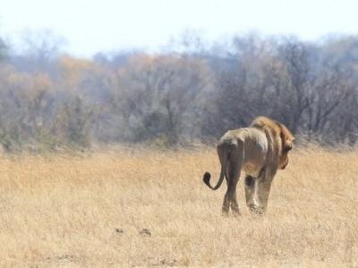 Menina de 10 anos é morta por leão após ir ao banheiro na África