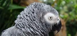 Papagaio testemunha crime e mulher é presa por assassinato
