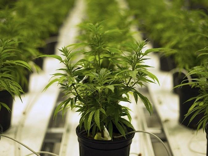Anvisa vai criar regras para cultivo de maconha medicinal no Brasil