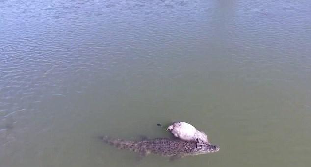 Pescadores flagram crocodilo carregando vaca; imagens impressionam