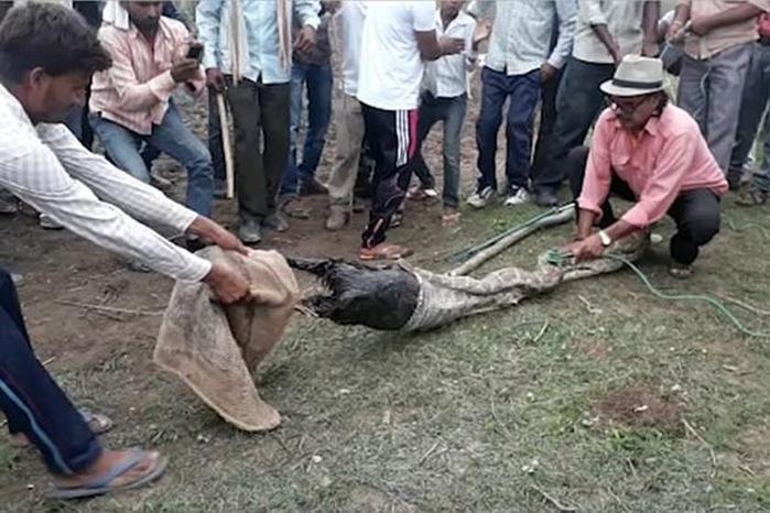 Moradores retiram cabra inteira de estômago de cobra; cenas fortes