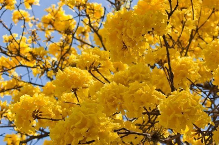 Florada de Ipês em Teresina (Crédito: Reprodução)