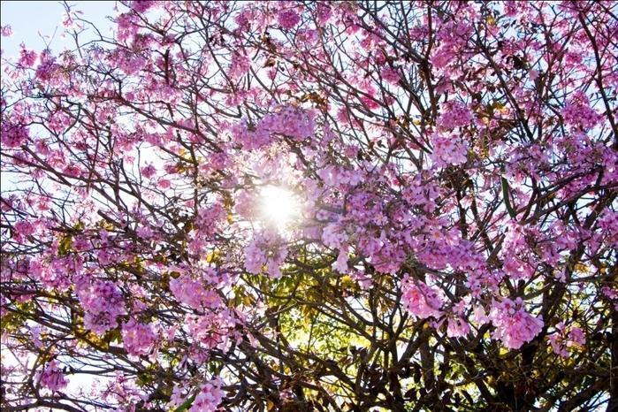 Florada de Ipês em Teresina (Crédito: Renato Bezerra)