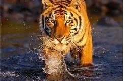 População do tigres-de-bengala sobe 63 por cento em em 5 anos