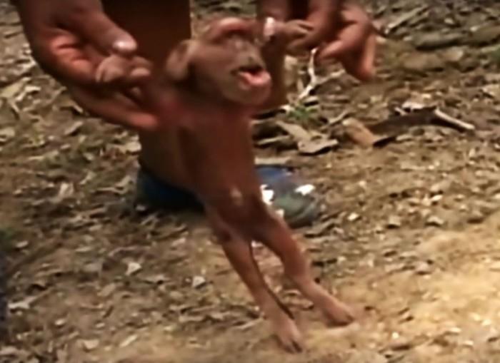 Porco 'com cara de macaco' assusta moradores de Cuba (Crédito: Reprodução)