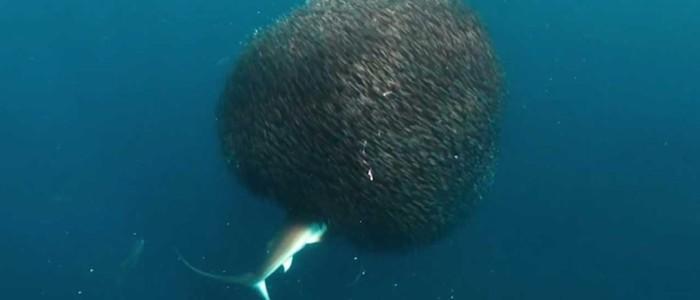 Imagem de tubarão-tigre sendo 'engolido' por cardume  (Crédito: Tanya Houppermans)