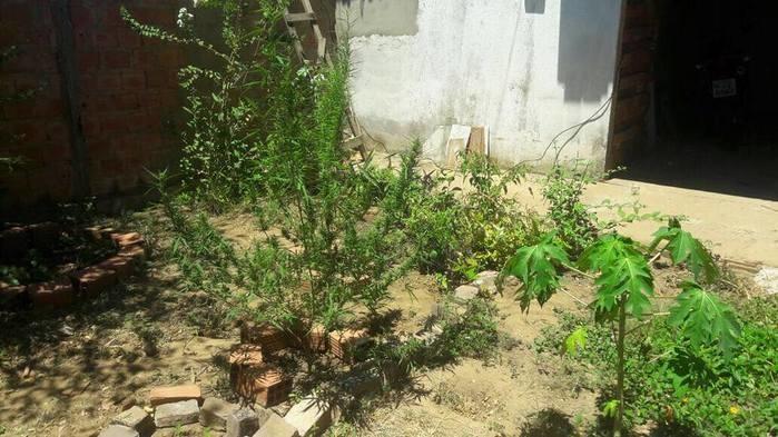 Plantação de maconha na zona leste (Crédito: Reprodução)