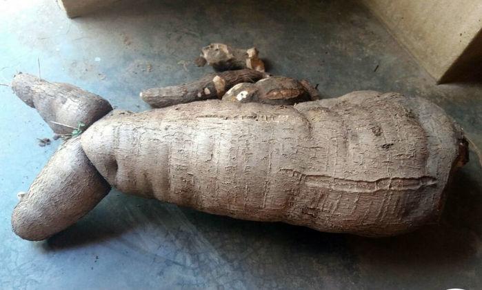 Agricultor colhe macaxeira de 10 quilos e 70 centímetros no Piauí (Crédito: Folha de Oeiras)