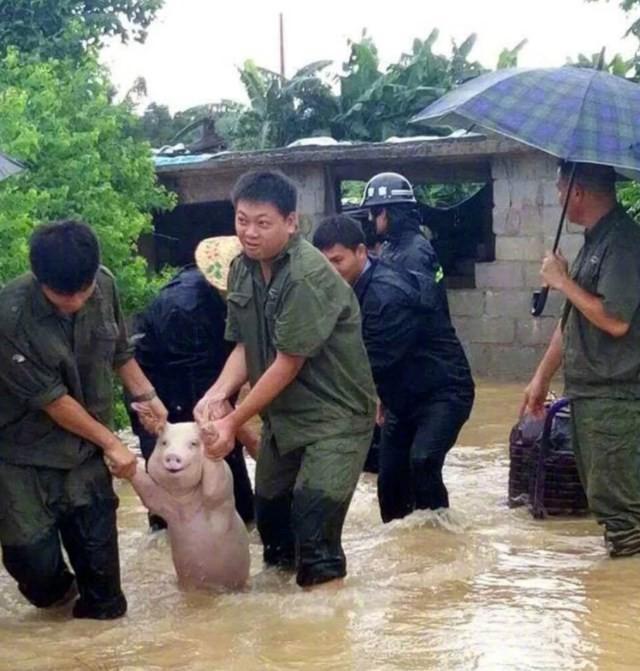 Imagem de porco sorrindo ao ser salvo de enchente viraliza na web (Crédito: Reprodução)