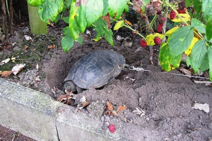 Donos furam casco de tartaruga, prendem corrente e saem de férias (Crédito: Reprodução)