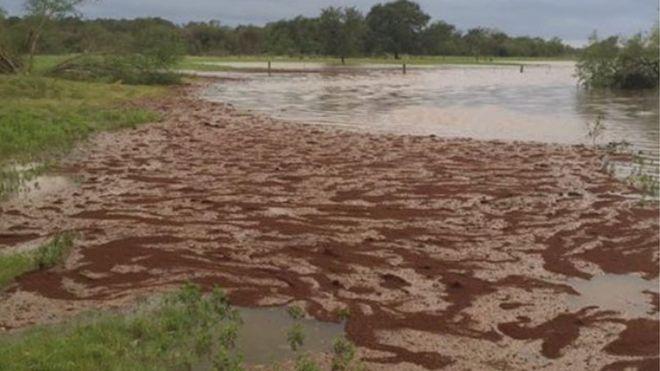 Não é lama, mas sim milhares de formigas (Crédito: Reprodução)
