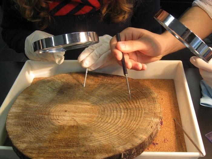 Medir a idade das árvores pela técnica dos anéis anuais... incrível. (Crédito: Divulgação)