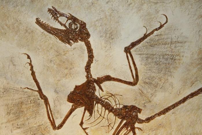 Datação é uma técnica científica que objetiva medir a idade de achados paleontológicos, como esse fóssil de um antigo réptil voador.  (Crédito: Divulgação)