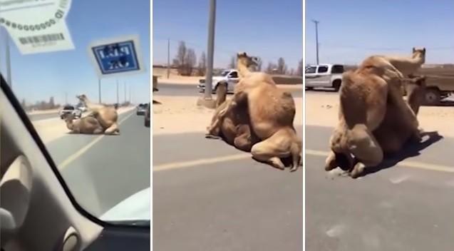 Casal de camelos vive tórridas cenas de amor no meio de estrada