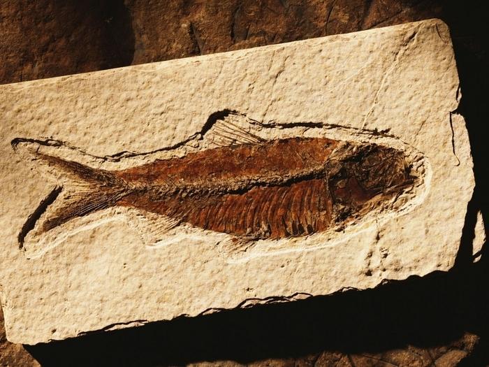 Fósseis são animais ou plantas petrificadas há milhares ou milhões de anos. As técnicas usadas pela ciência para avaliar sua idade é chamada DATAÇÃO.   (Crédito: Divulgação)