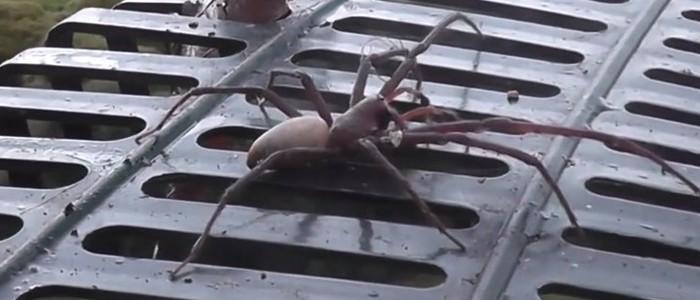 Aranha gigante (Crédito: Reprodução/YouTube(kiwiwinz) )
