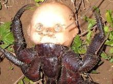 Crustáceo com cabeça de boneca assusta nas redes sociais