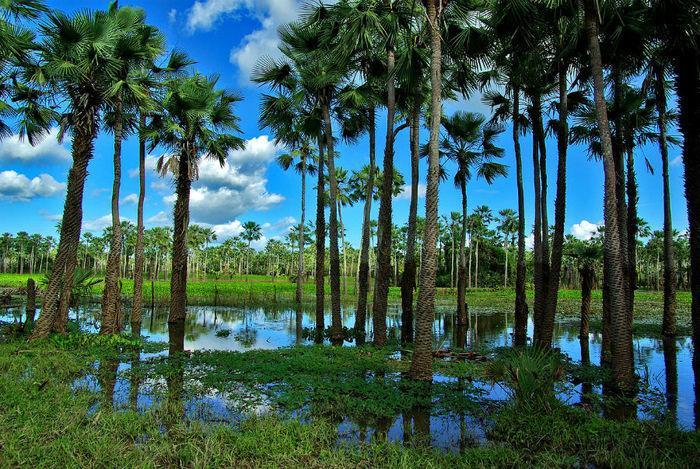Decreto irá oficializar a árvore como símbolo do estado (Crédito: Otávio Nogueira)