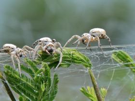 Aranhas solteiras se sacrificam pelas crias de suas 'comadres'