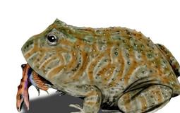 Beelzebufo: cientistas descobrem sapo que comia até dinossauros