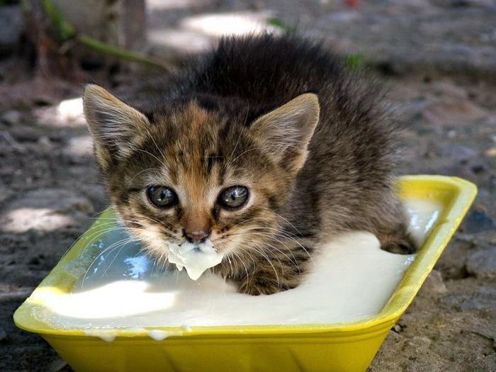 Entenda por que você não deve dar leite a gatos (Crédito: Reprodução)