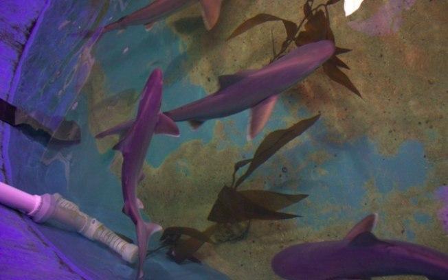 Tubarões encontrados vivos (Crédito: Departamento de Conservação Ambiental do Estado de Nova York  )