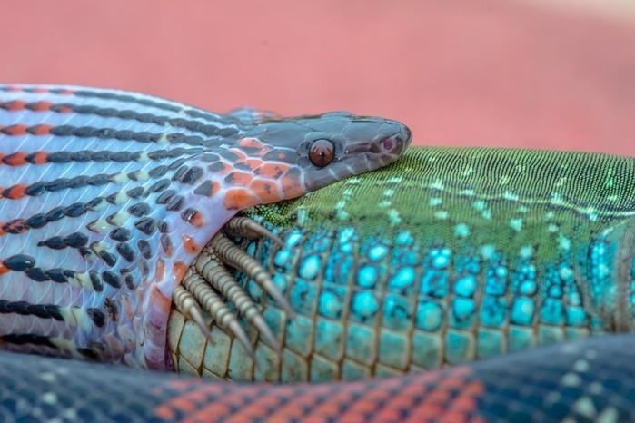 Fotógrafo registrou cobra engolindo largato em Bauru (Crédito: Junior Esteves/Arquivo Pessoal  )