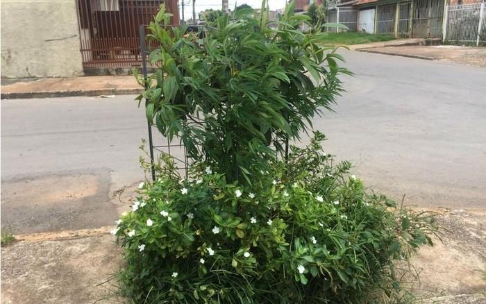 Pé de maconha encontrado em calçada em Ceilândia, no Distrito Federal  (Crédito: Polícia Militar/Divulgação)
