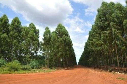 Plantação de eucalipto na região de Regeneração  (Crédito: Francisco Leal)