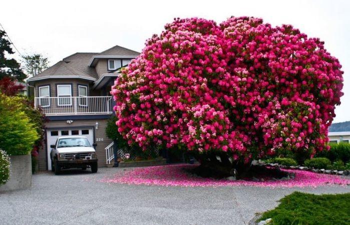 Um rododendro de 125 anos, Canada   (Crédito: © Reddit    )