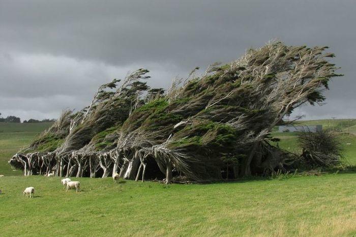 Árvores torcidas por ventos fortes, Nova Zelândia  (Crédito: © flickr)