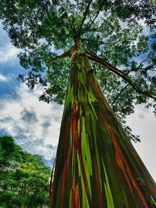 Eucalipto arco-íris, Havai (Crédito: © jwilsonnorton  )
