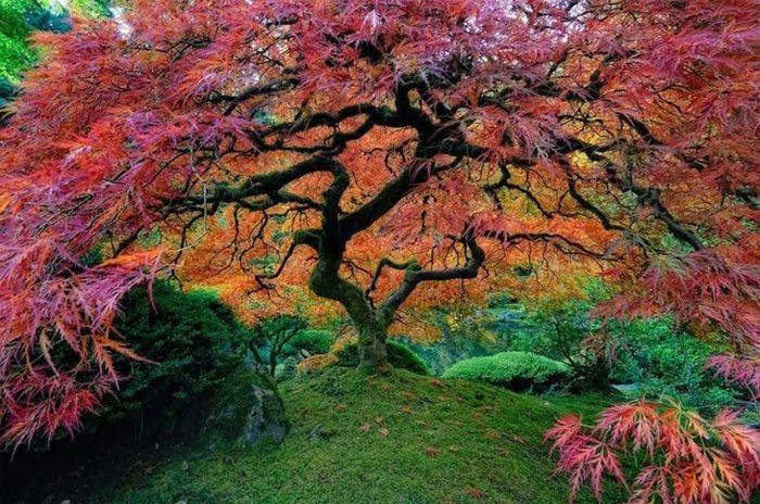 Uma árvore de bordo japonesa, Oregon, USA   (Crédito: © falcor88)