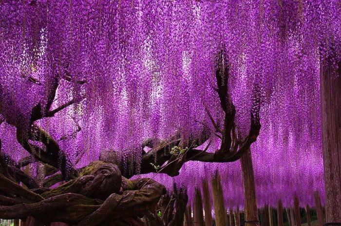 Uma glicínia de 144 anos, Japão   (Crédito: © tungnam)
