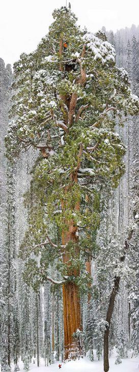 A terceira maior árvore do mundo (uma sequoia gigante), Califórnia   (Crédito: © Michael Nichols)