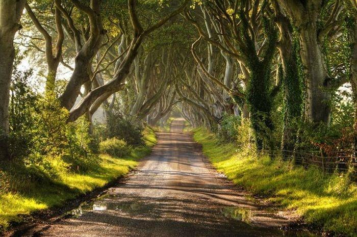Um corredor de faias, Irlanda da Norte   (Crédito: © (с) Christopher Tait  )