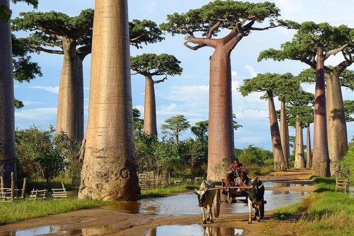 Árvores Baobab, Madagáscar  (Crédito: © confitalsurf  )