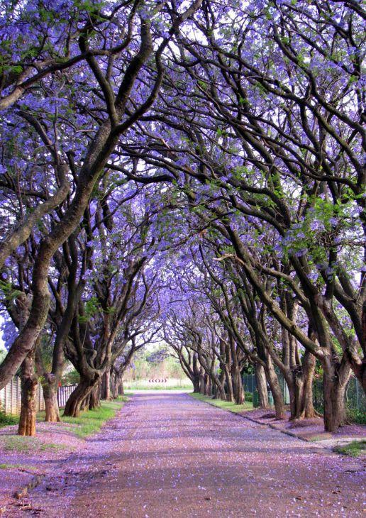 Árvores Jacarandá, África do Sul  (Crédito: © (с) Elizabeth Kendall  )