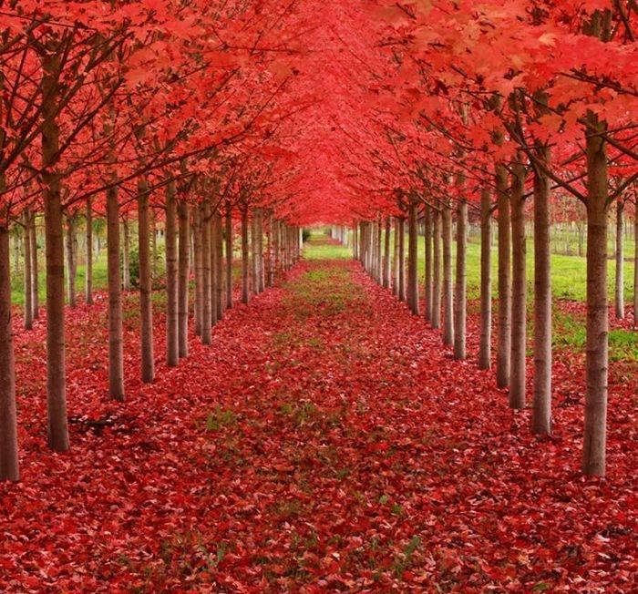 Um túnel formado por árvores de bordo, Oregon, USA   (Crédito: © Ian Sane)
