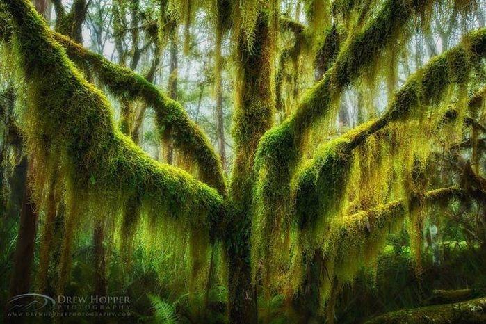 Uma árvore de faia coberta por musgo (Crédito: © Drew Hopper  )