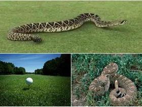 Cobra gigantesca invade campo de golfe e deixa todos assustados