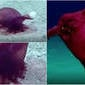 """Animal conhecido como """"galinha sem cabeça"""" é filmado pela 1ª vez"""