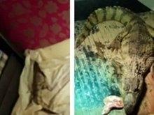 Homem é condenado por manter crocodilo como 'pet' em casa