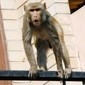 Idoso é morto após ser atingido por tijolos lançados por macacos